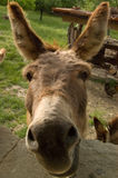 Donkey Saying Hello Royalty Free Stock Photo