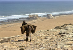 Donkey and sea Royalty Free Stock Photography