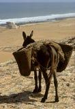 Donkey and sea Stock Photos