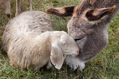A donkey and a sheep having cuddle. On a meadow stock photography