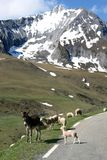 Donkey, sheep and white snow covered mountains Royalty Free Stock Image