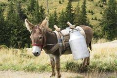 Donkey from the sheepfold Stock Image