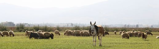 Donkey and Sheeps Stock Photo