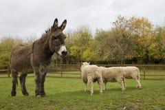 Donkey and sheeps.  Local farm. Royalty Free Stock Photo
