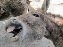 A donkey shows the teeth smiles Royalty Free Stock Image