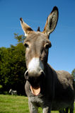 Donkey shows tongue Stock Images