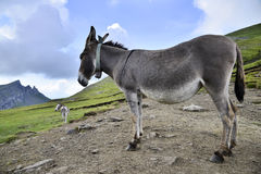 Donkey side. Picture of a donkey on it's left side and an alpine background Royalty Free Stock Images