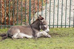Donkey sits on the grass Stock Photography