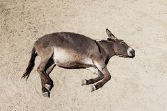 The donkey slept on the sand Royalty Free Stock Photography