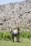 Donkey and small horse in field, Calingasta, Argentina Royalty Free Stock Image