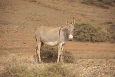 Donkey. Socotra island Stock Photos