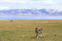 DONKEY AT SONG KUL LAKE IN KYRGYZSTAN. This photo was taken on July, 2015 in Songkul lake, Kyrgyzstan. Song Kul is a high alpine lake in the Tian Shan Mountains royalty free stock photos