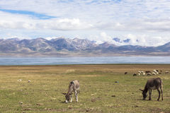 DONKEY AT SONG KUL LAKE IN KYRGYZSTAN. This photo was taken on July, 2015 in Songkul lake, Kyrgyzstan. Song Kul is a high alpine lake in the Tian Shan Mountains stock image