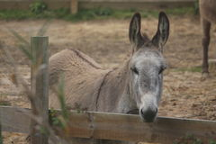 Donkey, species endangered in a farm Royalty Free Stock Photography