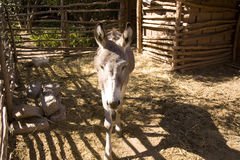 Donkey in stable Royalty Free Stock Photography