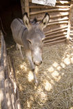 Donkey in stable Royalty Free Stock Photos