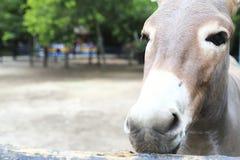 Donkey grazing Stock Photography