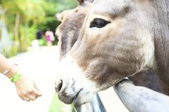 Donkey grazing Royalty Free Stock Image