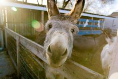 Donkey in stable making a funny face. A silly looking donkey makes a funny face as he stands next to the pasture fence while the sun streams down on him Stock Photography