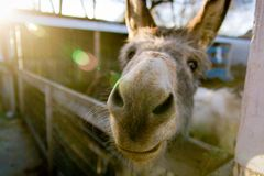 Donkey in stable making a funny face. A silly looking donkey makes a funny face as he stands next to the pasture fence while the sun streams down on him Royalty Free Stock Images