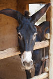 Donkey in a stall. The gray burro looks out of a stall royalty free stock photography