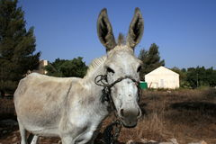Donkey Standing Royalty Free Stock Photography