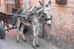 Donkey standing in an alley, Morocco Royalty Free Stock Image