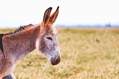 Donkey with standing ears looking to the right Stock Images