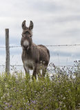 Donkey standing at the fence Stock Photography