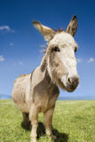 Donkey Standing In Field Stock Image
