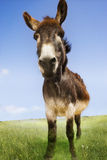 Donkey Standing In Field Stock Photography