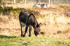Donkey standing in a field of green grass in Ireland.  royalty free stock photography