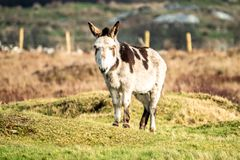 Donkey standing in a field of green grass in Ireland.  stock images