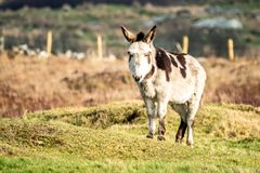 Donkey standing in a field of green grass in Ireland.  royalty free stock photo