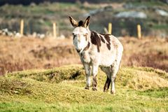 Donkey standing in a field of green grass in Ireland.  stock photography