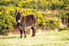 Donkey standing in a field of green grass in Ireland.  stock image