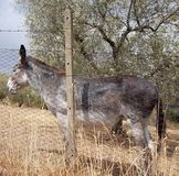 Donkey standing grey Italy royalty free stock photography
