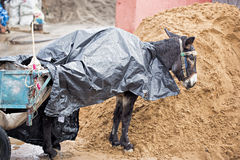 Donkey standing in the rain Stock Images