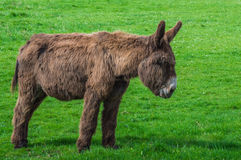 Donkey staring at the grass. At a meadow Stock Photo