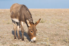 Donkey and steppe Royalty Free Stock Image