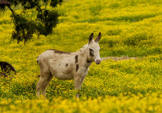 Donkey strolls through a field of yellow flowers. Royalty Free Stock Photos