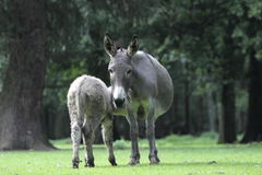 Donkey suckles its young Stock Photos