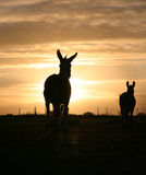 Donkey in the Sunset royalty free stock photography