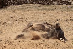 Donkey. Taking a sand bath Royalty Free Stock Photo