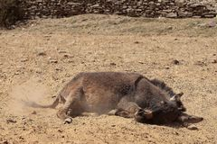 Donkey. Taking a sand bath stock photography