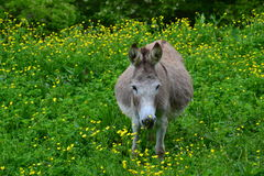 Donkey in tall green grass. Pregnant donkey feeding in the tall green grass, amongst yellow spring flowers Stock Photo