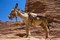 Donkey taxi Stock Images