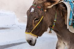 Donkey taxi in Santorini, Cyclades Islands, Greece. Europe Royalty Free Stock Photo