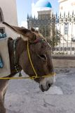 Donkey taxi in Santorini, Cyclades Islands, Greece. Europe Stock Images