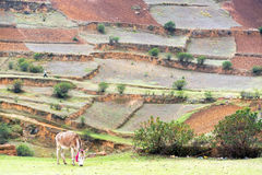 Donkey and Terraces Stock Photography